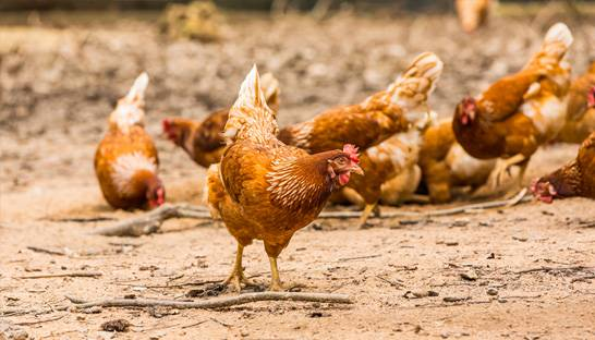 Food consultancy advocating more cage-free eggs in Asia